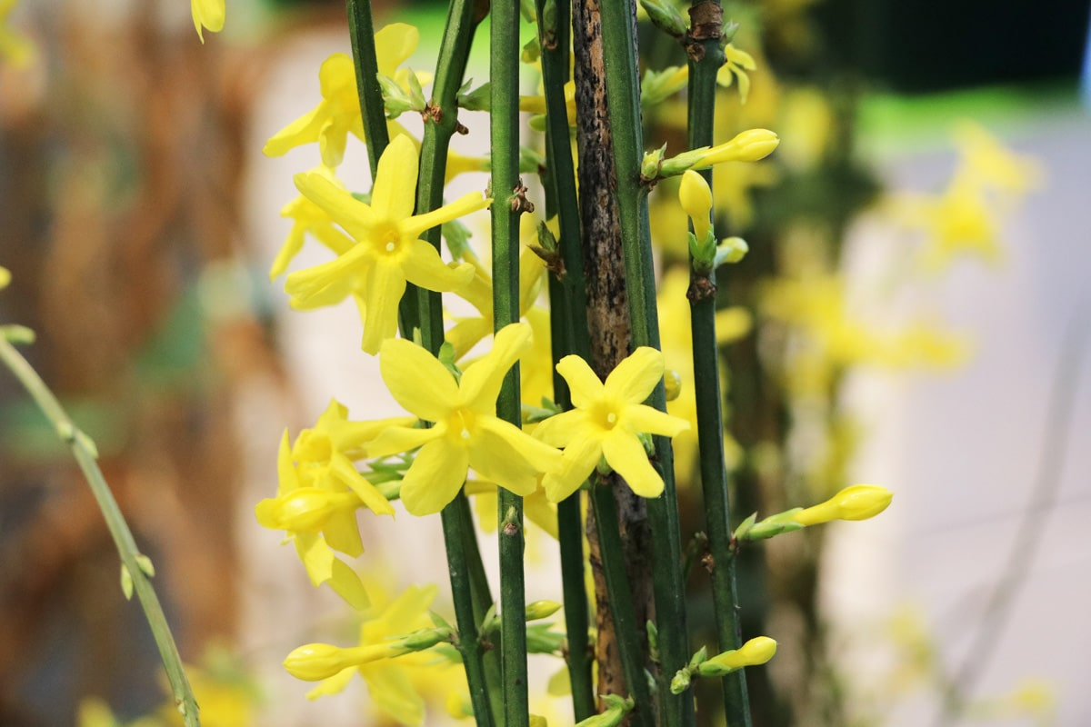 Winterjasmin - Jasminum nudiflorum