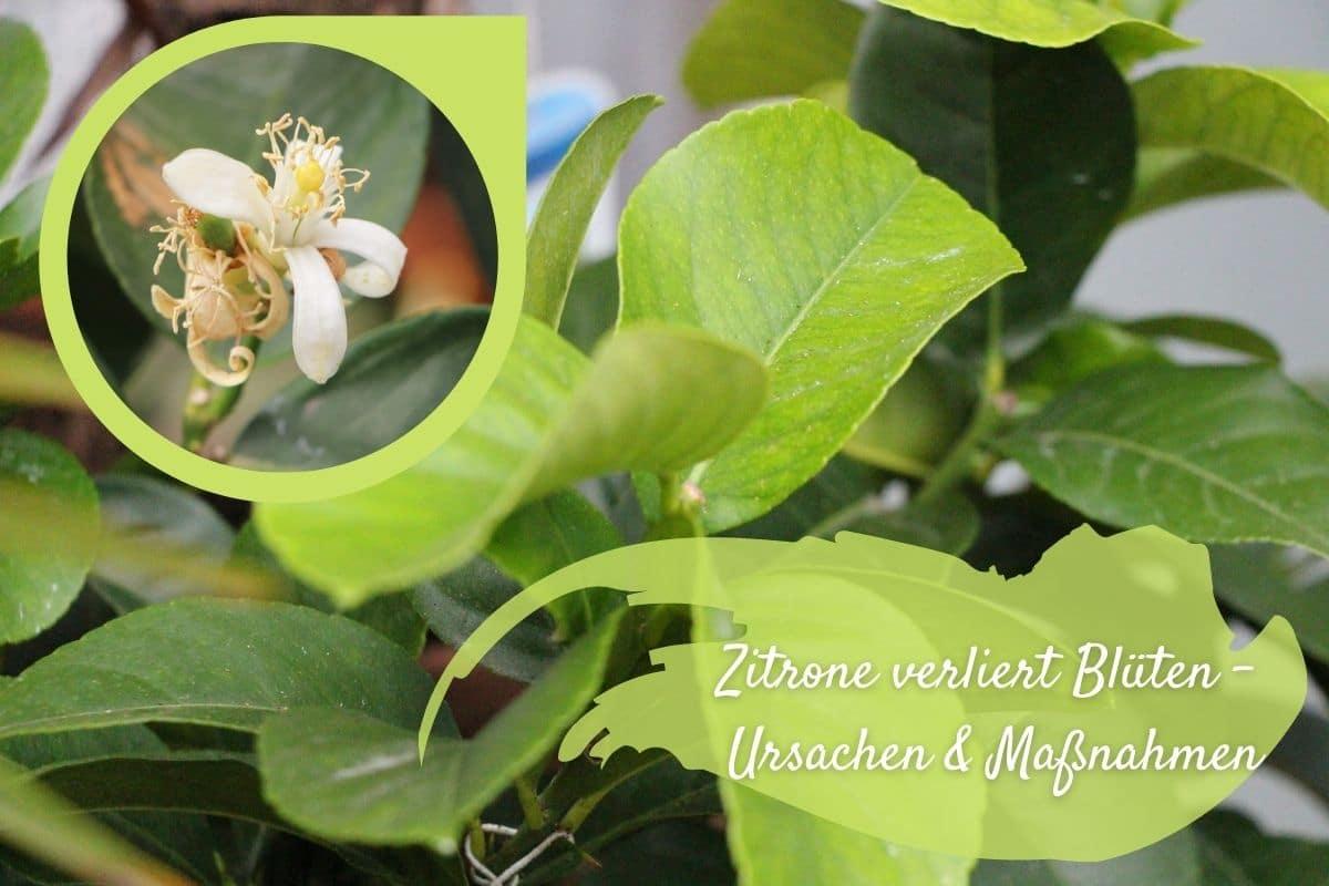 Zitronenbaum-Blüten fallen ab