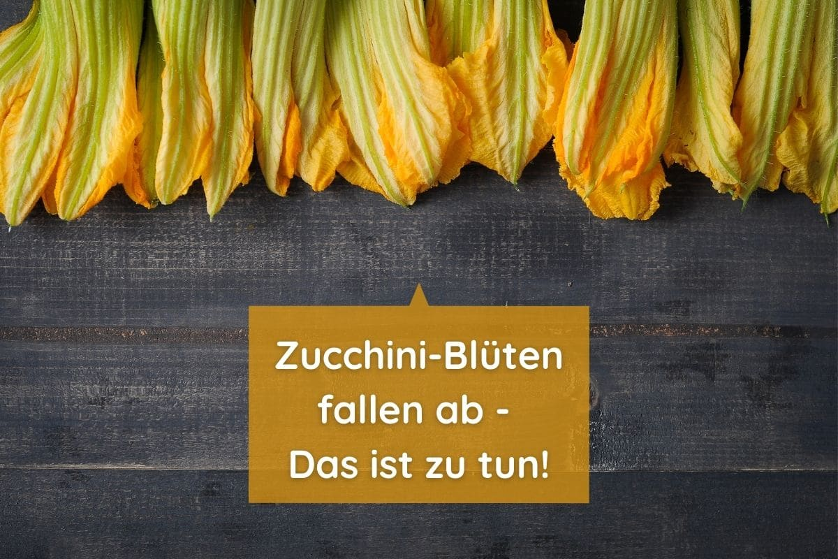 Abgefallene Zucchiniblüten