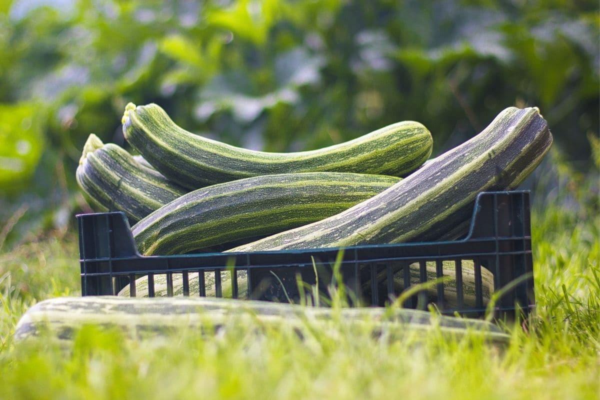 Kiste voller geernteter Zucchini