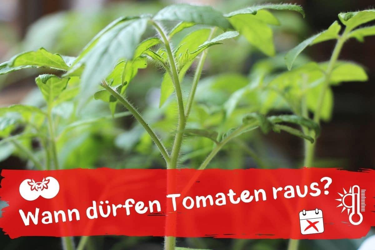 Ab wann dürfen Tomaten raus - Junge Tomatenpflanzen