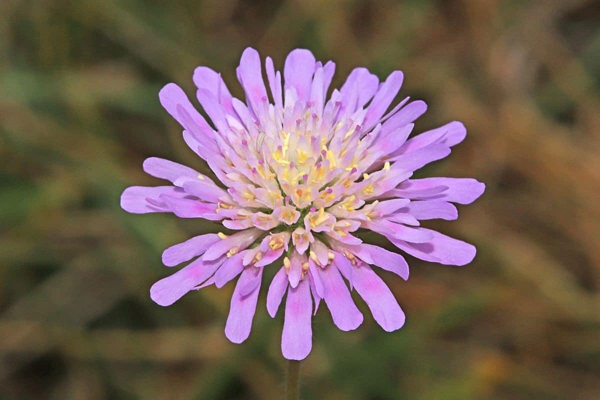 Unkraut mit lila Blüten - Acker-Witwenblume - Knautia arvensis