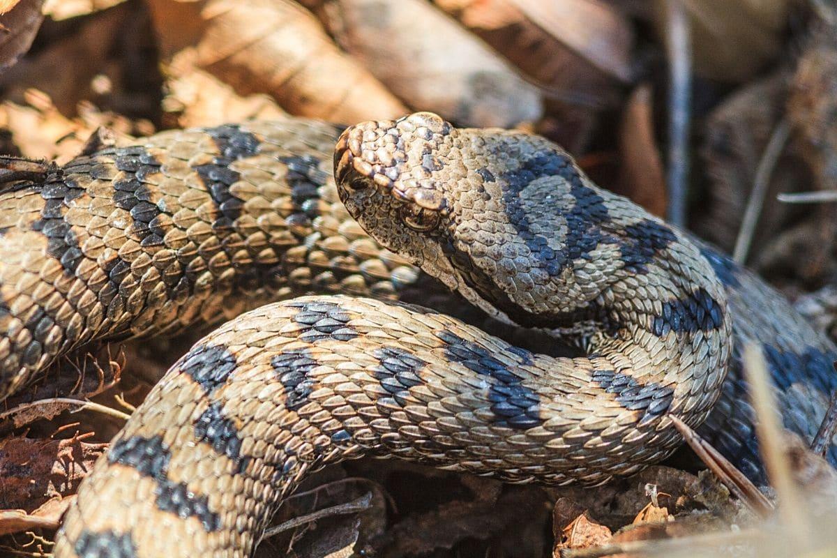 Schlange im Garten - Aspisviper
