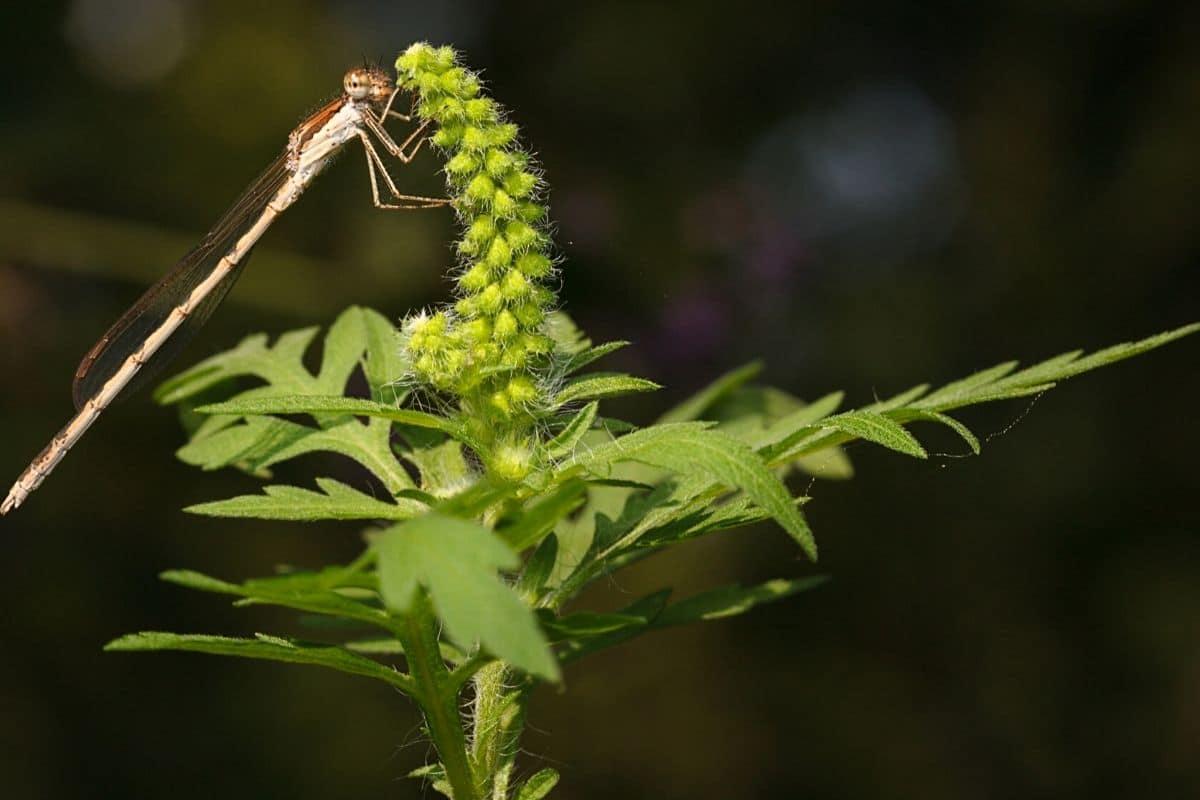 Beifußblättriges Traubenkraut - Ambrosia artemisiifolia