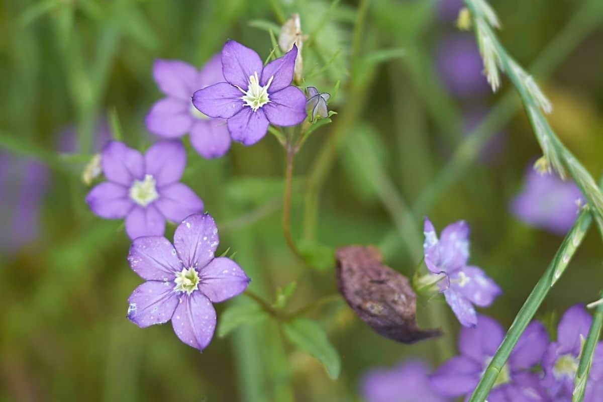 Unkraut mit lila Blüten - Echter Frauenspiegel - Legousia speculum-veneris