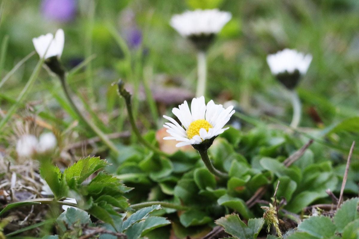 Unkraut mit weißen Blüten - Gänseblümchen