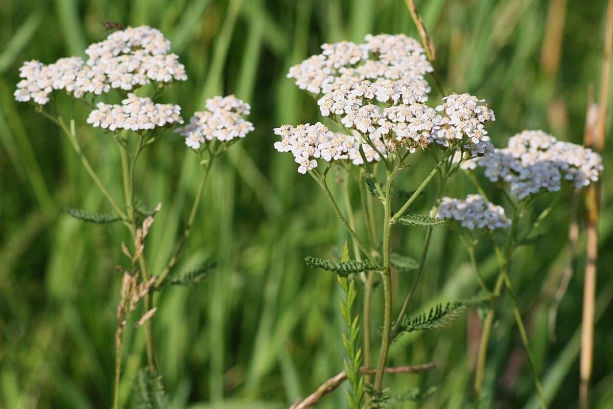 Unkraut mit weißen Blüten - Schafgarbe