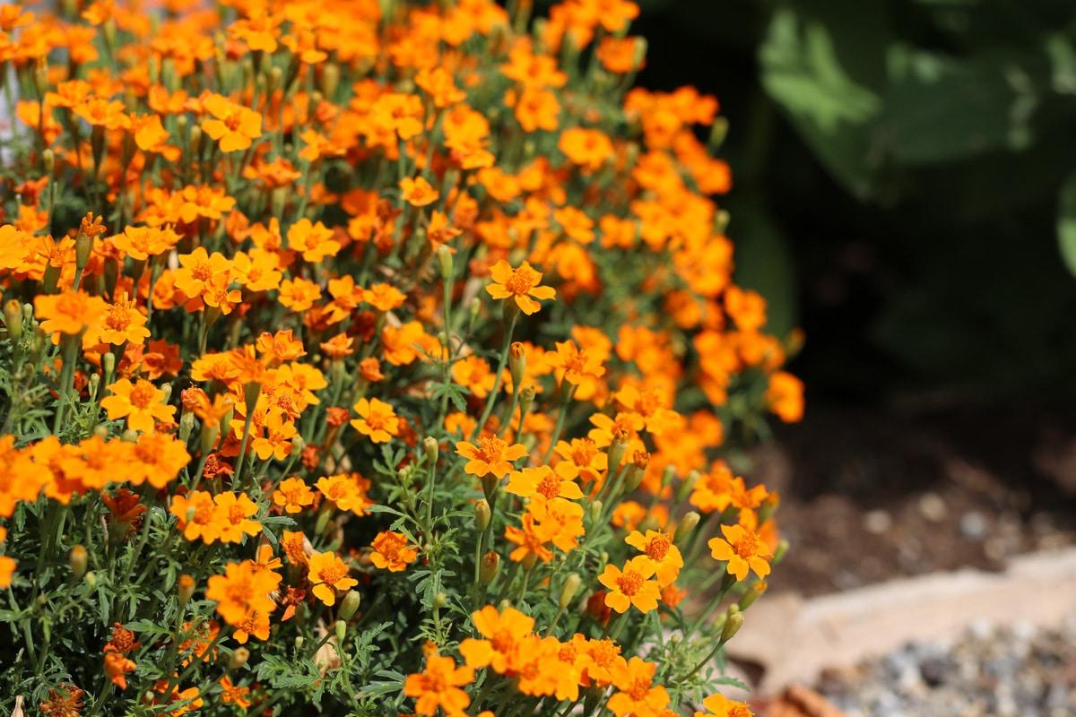 Gewürz-Tagetes - Tagetes tenuifolia