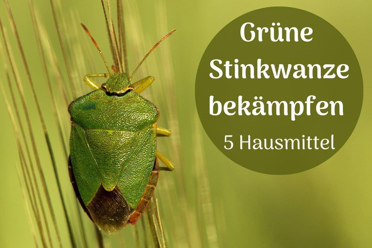 Grüne Stinkwanze bekämpfen
