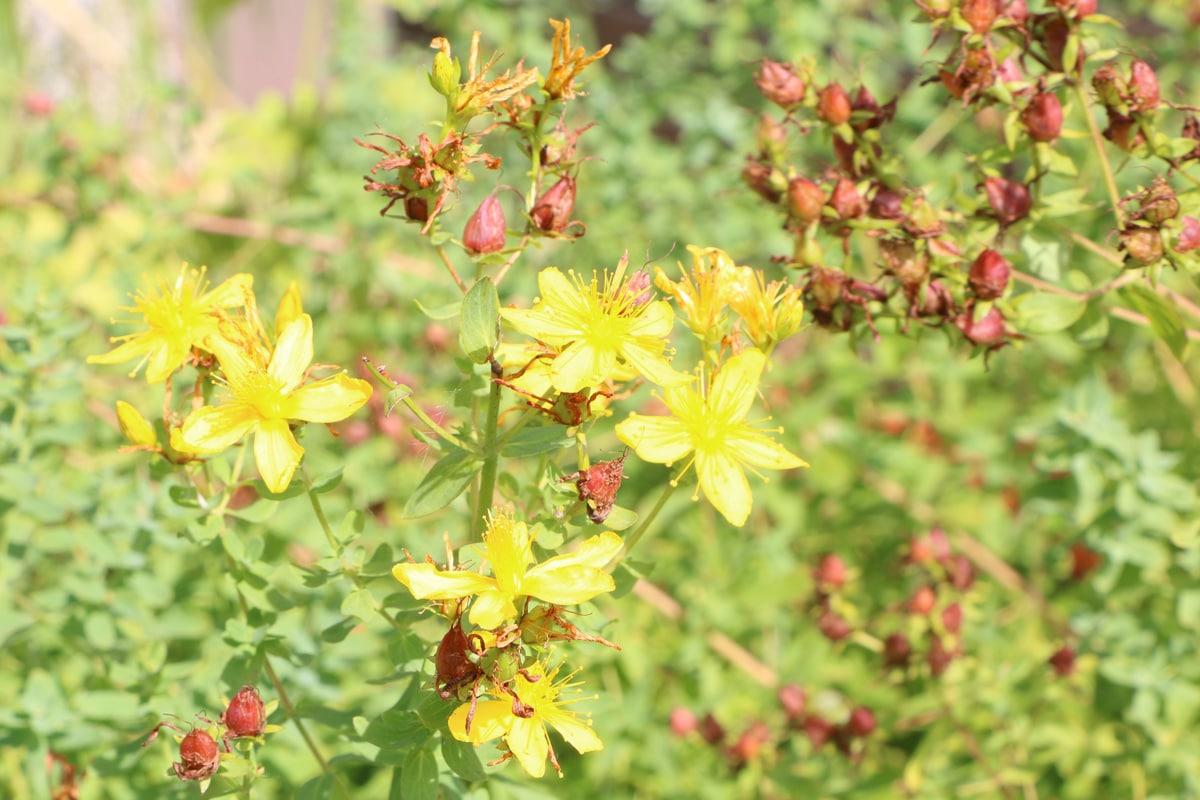 Unkraut mit gelben Blüten - Johanniskraut - Hypericum perforatum