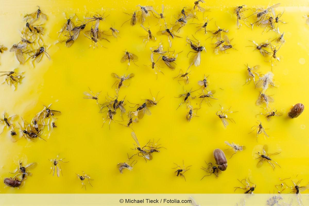 Trauermücken an Gelbtafel