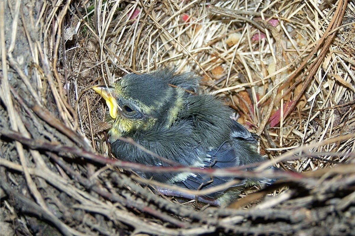 Junge Kohlmeise im Nest