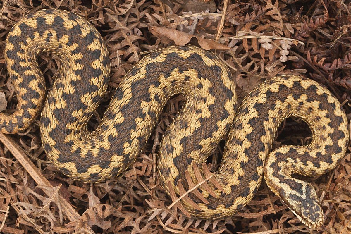 Schlange im Garten - Kreuzotter