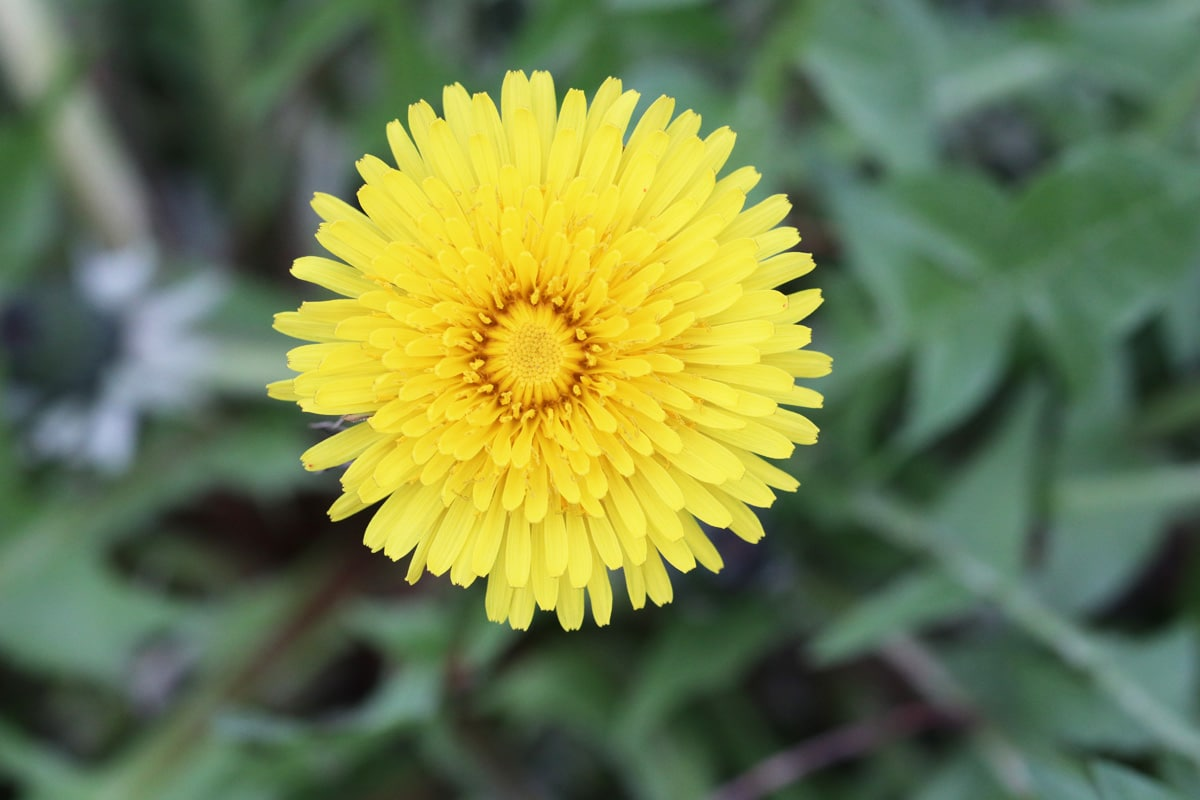 Unkraut mit gelben Blüten - Löwenzahn