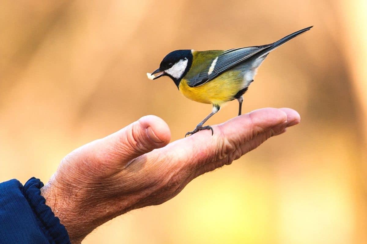 Meisenfütterung per Hand