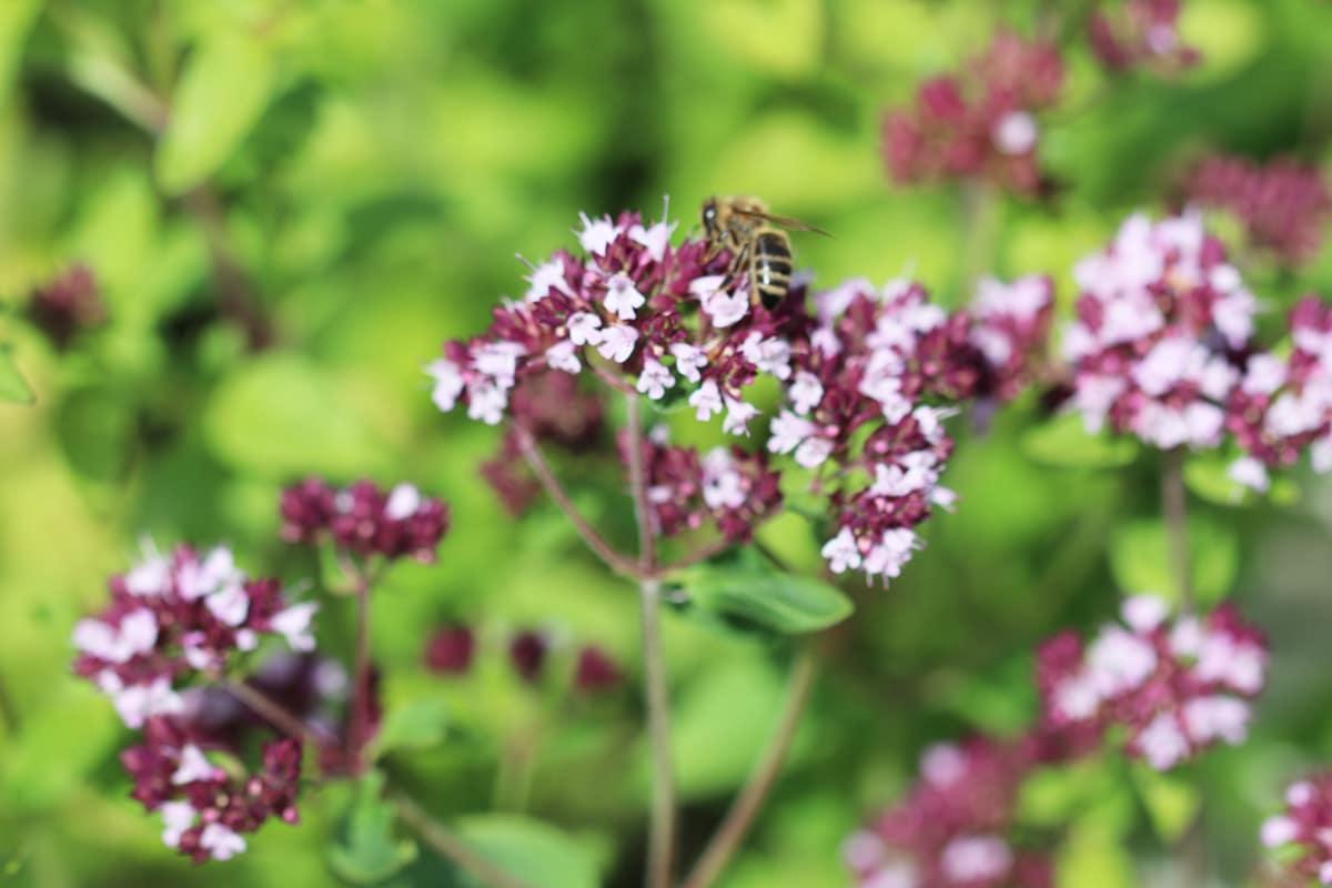 Lippenblütler - Oregano