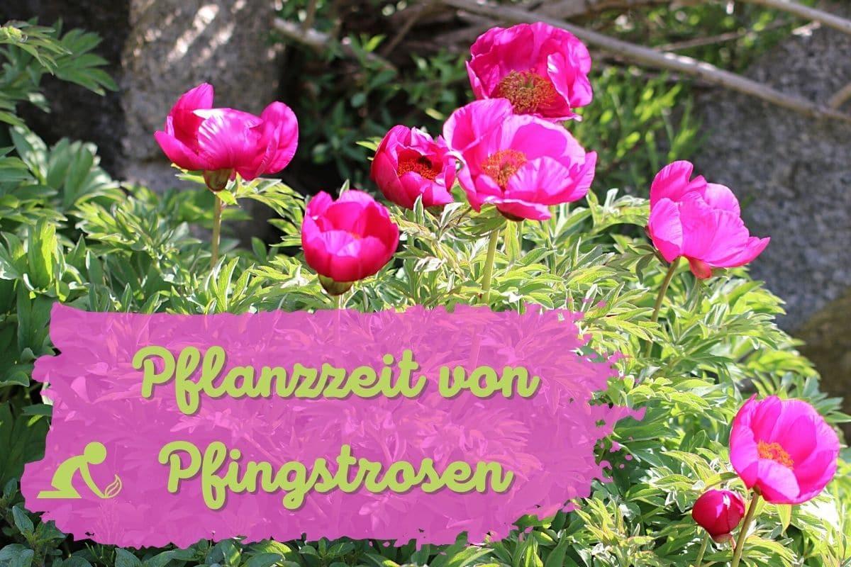 Pflanzzeit von Pfingstrosen