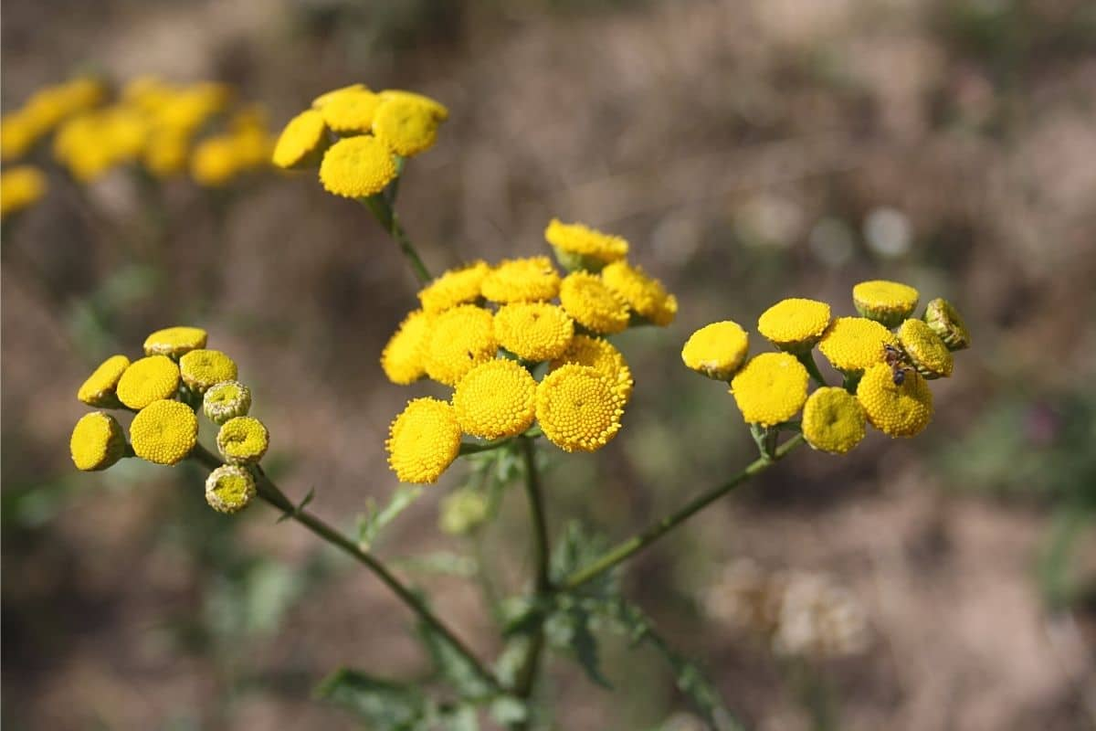 Unkraut mit gelben Blüten - Rainfarn