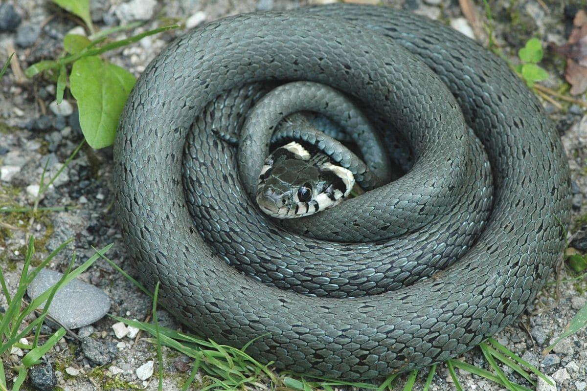 Schlange im Garten - Ringelnatter