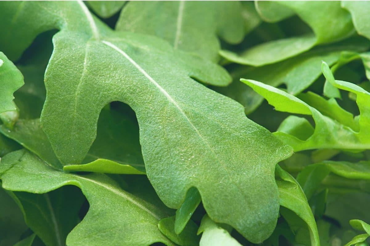 Ganze Rucola-Blätter