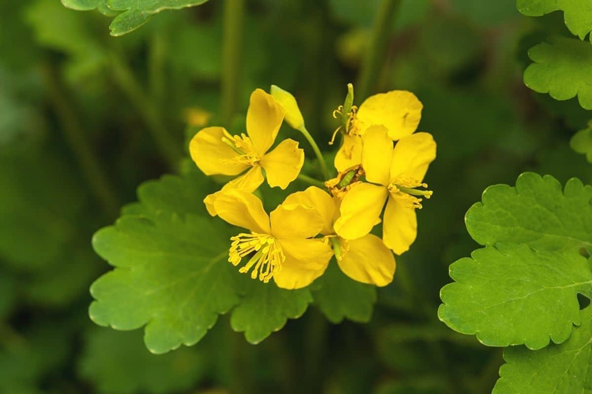 Unkraut mit gelben Blüten - Schöllkraut