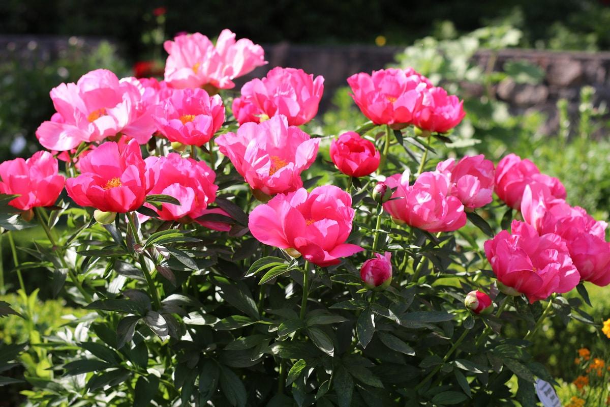 Strauchpfingstrose - Paeonia lactiflora 'Flame'