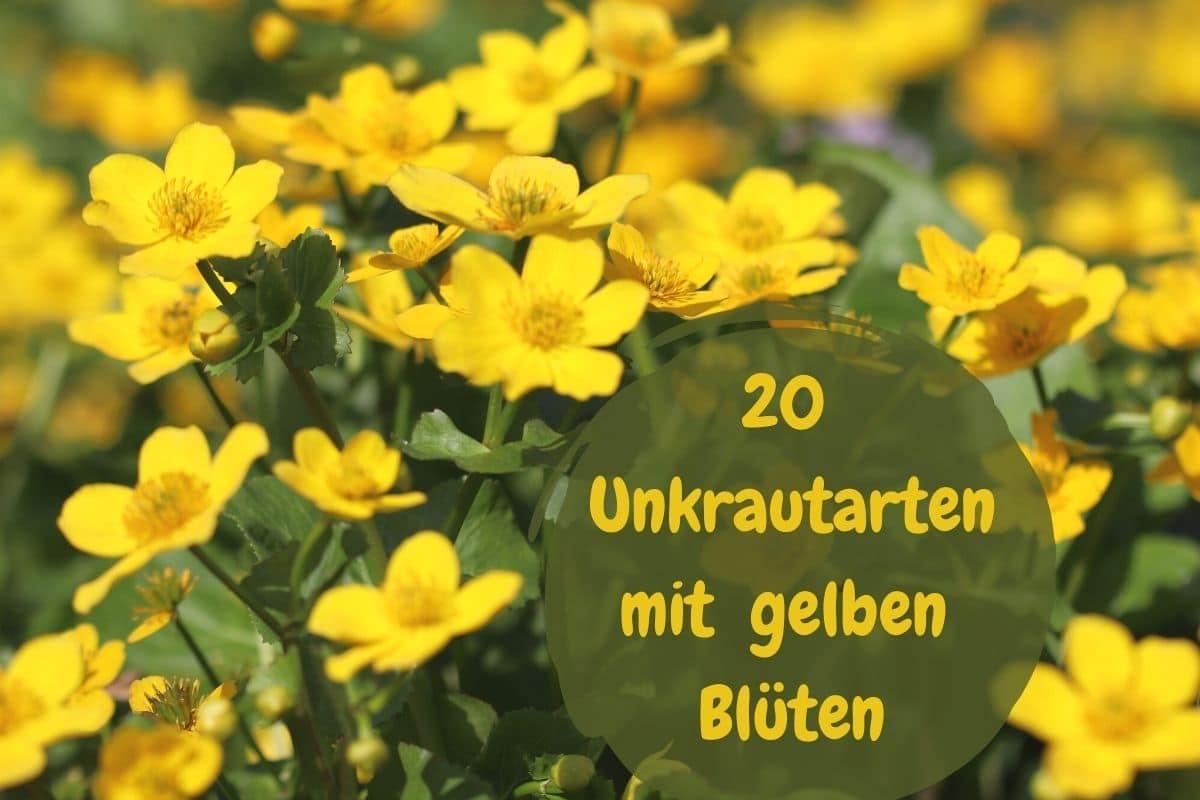 Unkraut mit gelben Blüten - Sumpfdotterblume