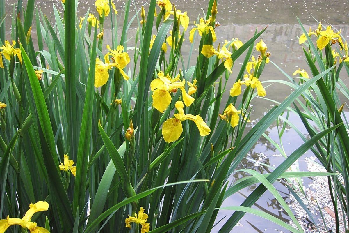 Unkraut mit gelben Blüten - Sumpf-Schwertlilie