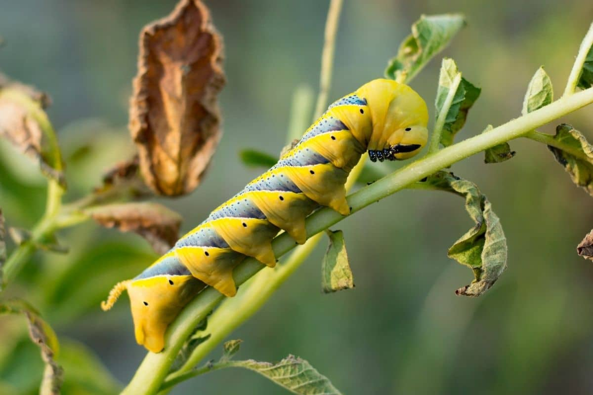 Gelbe Raupenarten - Totenkopfschwärmer