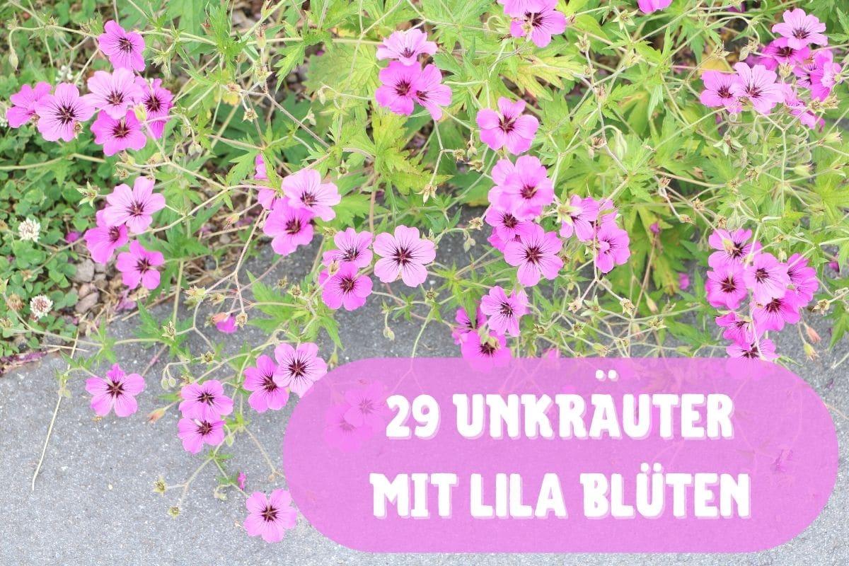 Unkraut mit lila Blüten - Wilde Malve