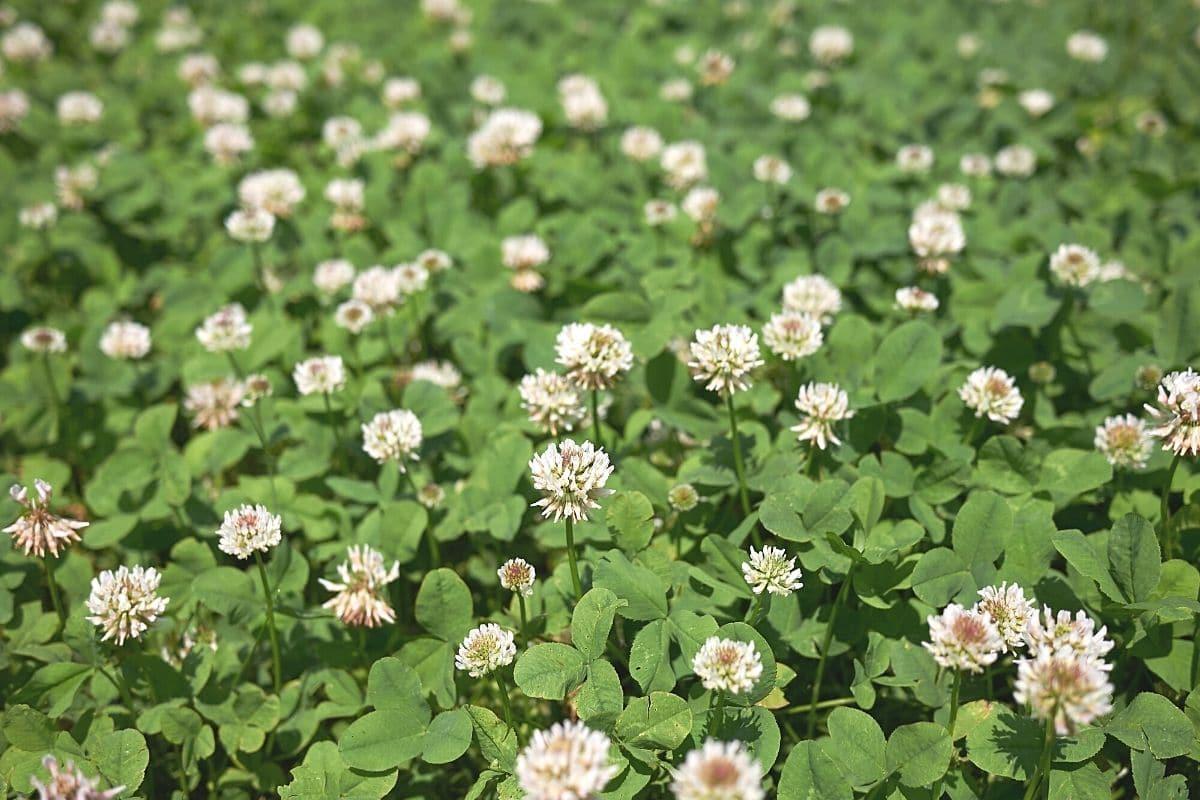 Weißklee - Trifolium repens