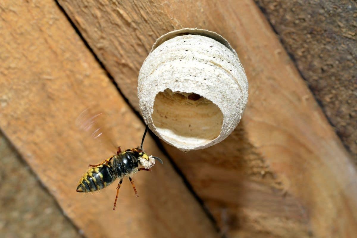 Wespenkönigin bringt neues Material für junges Nest
