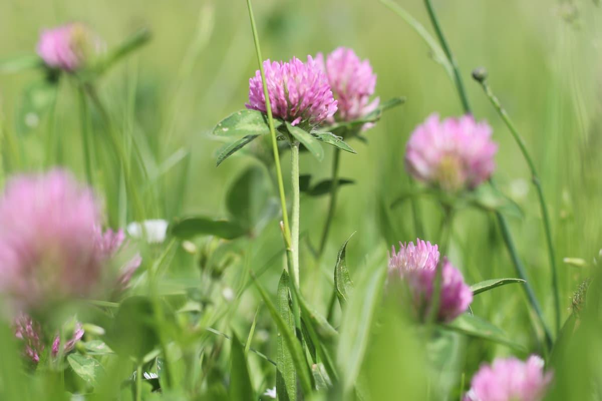 Wiesenklee - Trifolium pratense