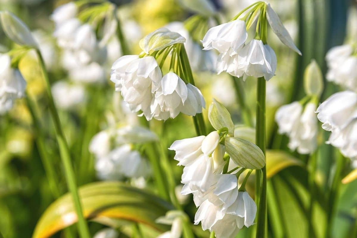 Wunder-Lauch - Allium paradoxum