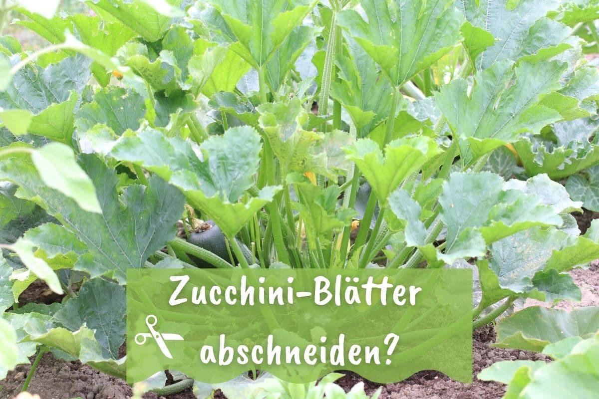 Sollte man Zucchiniblätter abschneiden