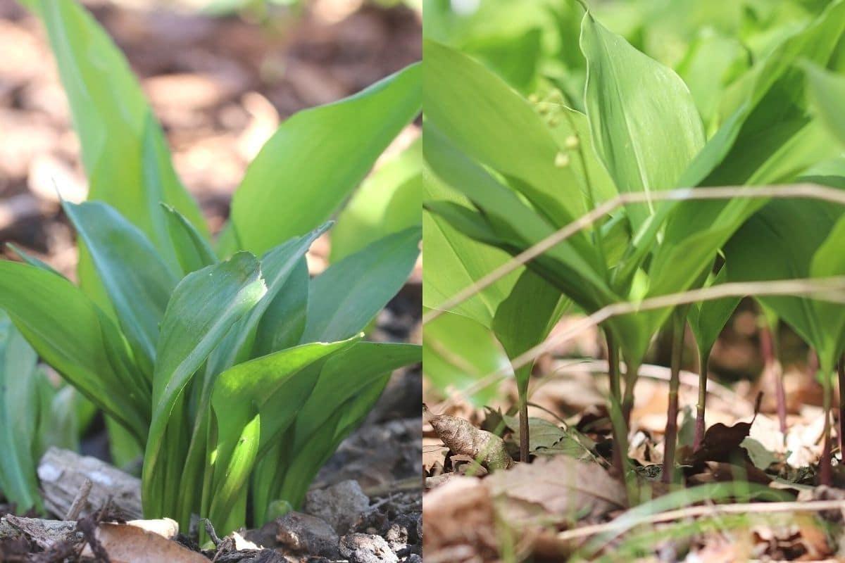 Blätter von Bärlauch und Maiglöckchen