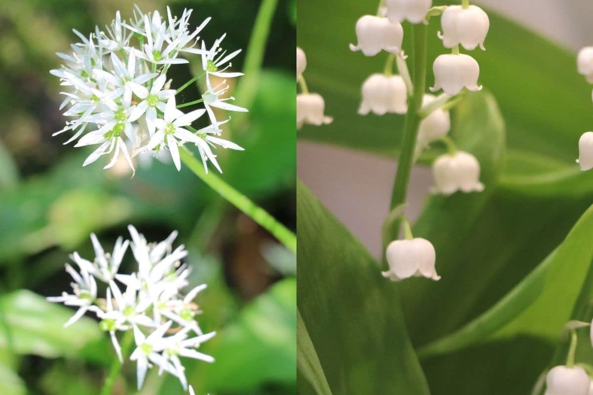 Blüten von Bärlauch und Maiglöckchen