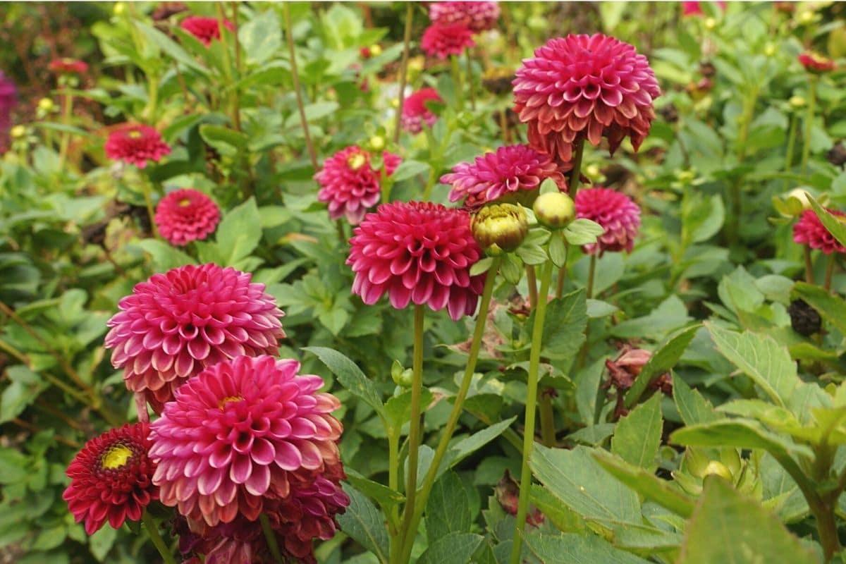 Blütezeit von Dahlien