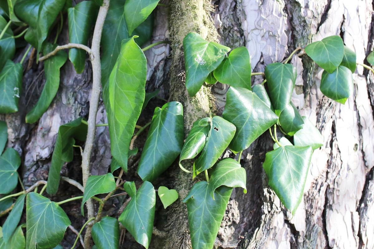 Efeu entfernen - Hedera colchica an Baum