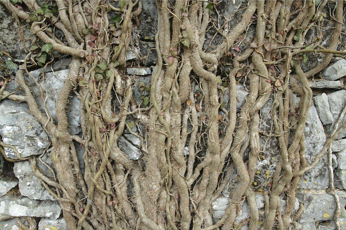 Efeu entfernen - Oberirdische Wurzeln
