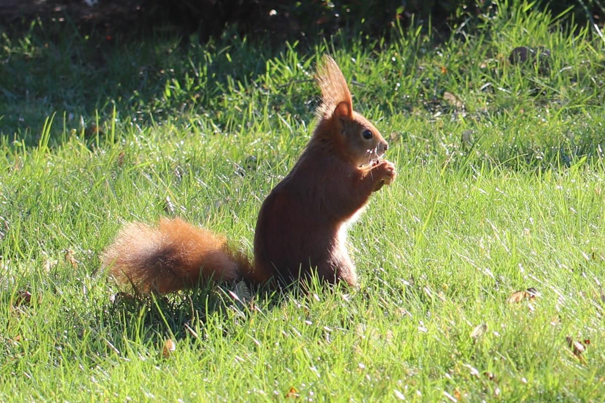 Eichhörnchen frisst in freier Wildbahn