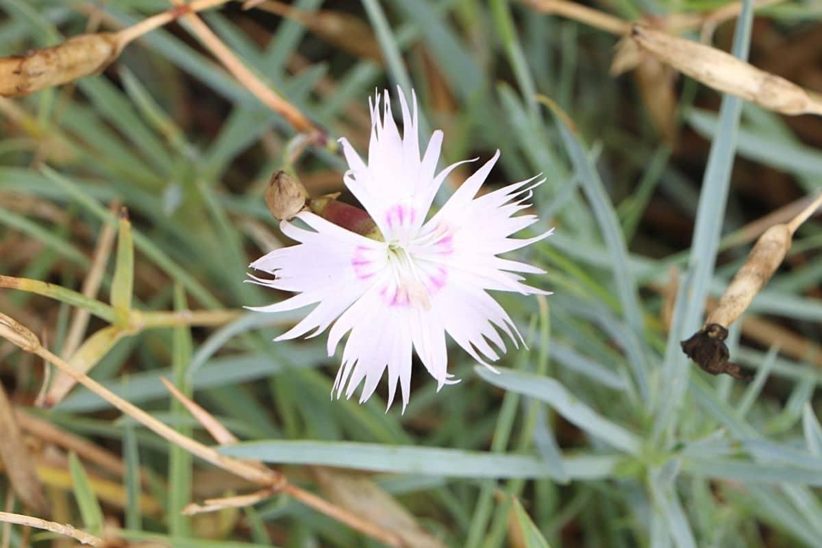 Federnelke - Dianthus plumaris