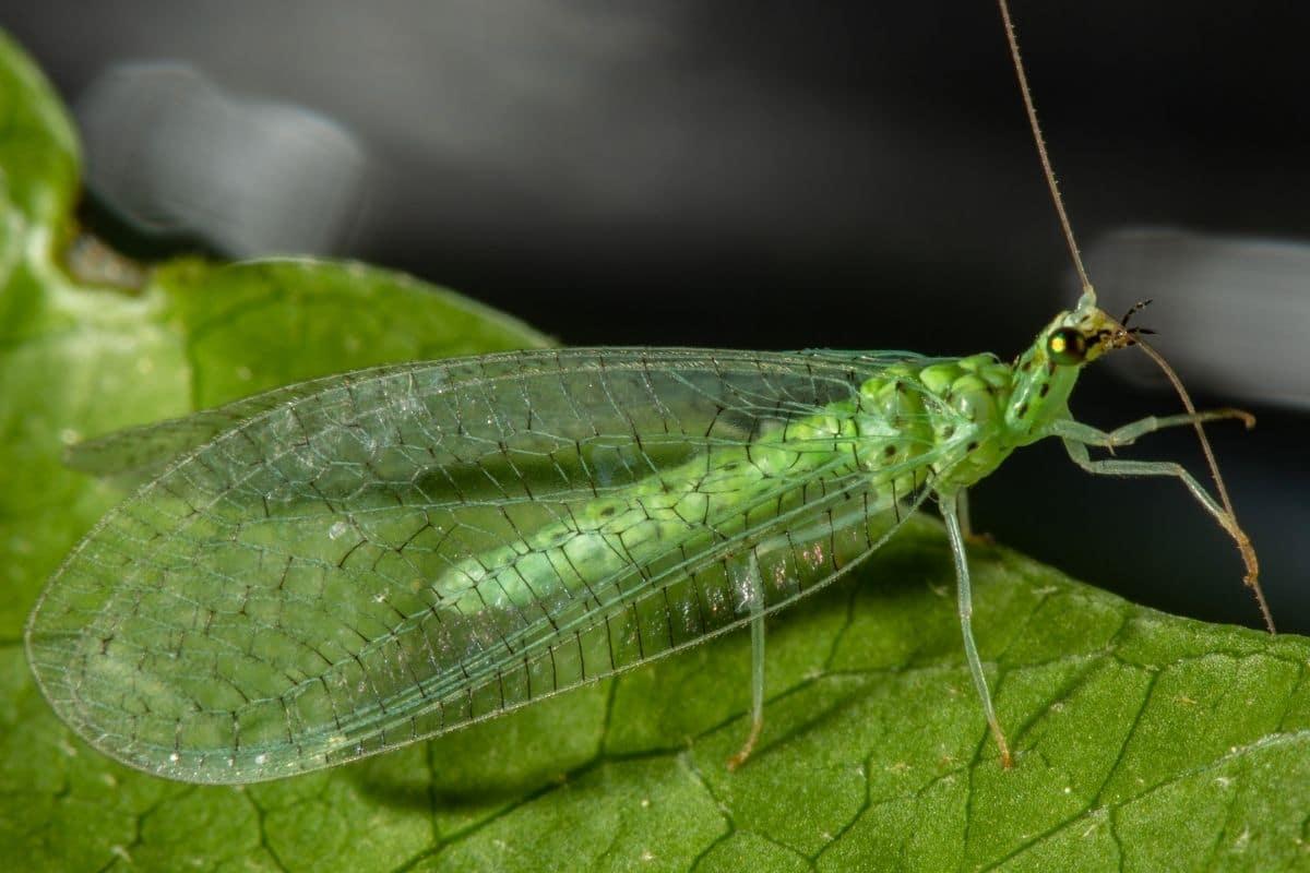 Grüne Fliegen im Haus - Florfliege