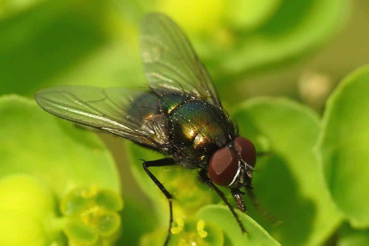 Grüne Fliegen im Haus - Goldfliege