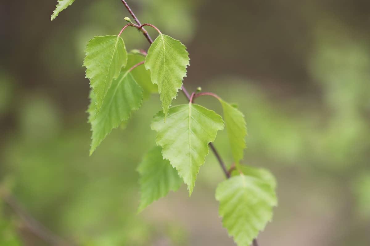 Hänge-Birke - Betula pendula