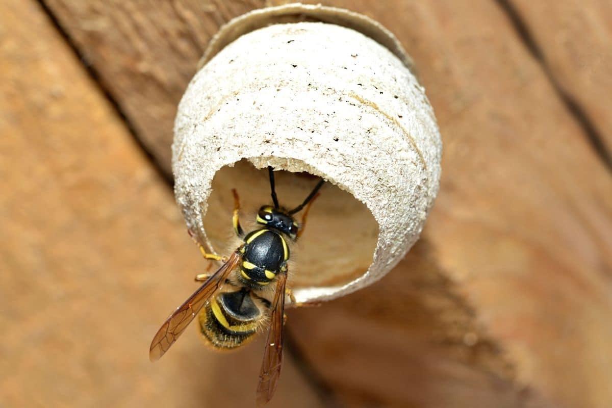 Junge Wespenkönigin beim Nestbau