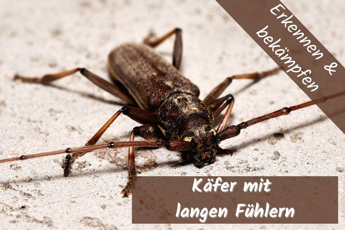 Käfer mit langen Fühlern in der Wohnung