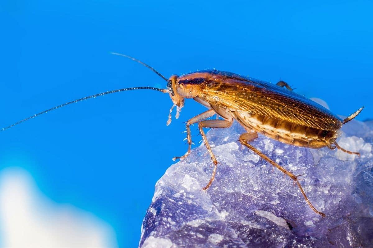Käfer mit langen Fühlern - Kakerlake