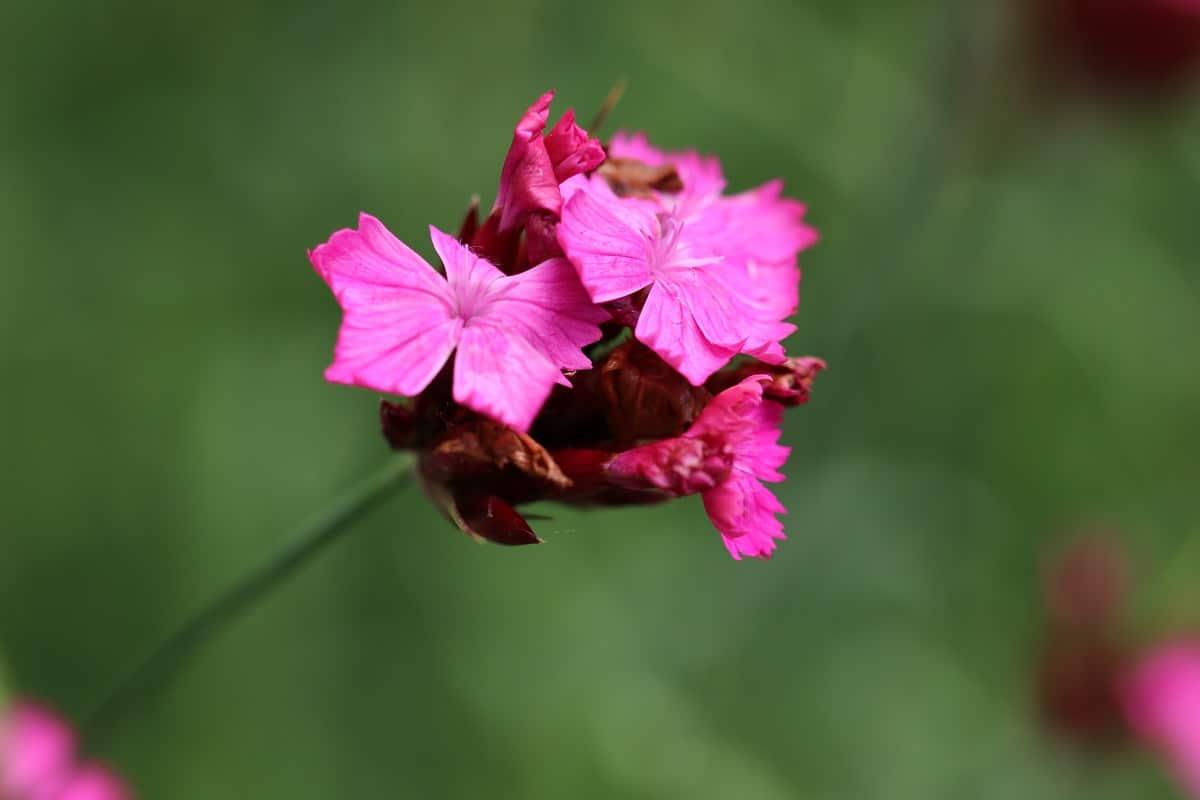 Kartäusernelke - Dianthus carthusianorum