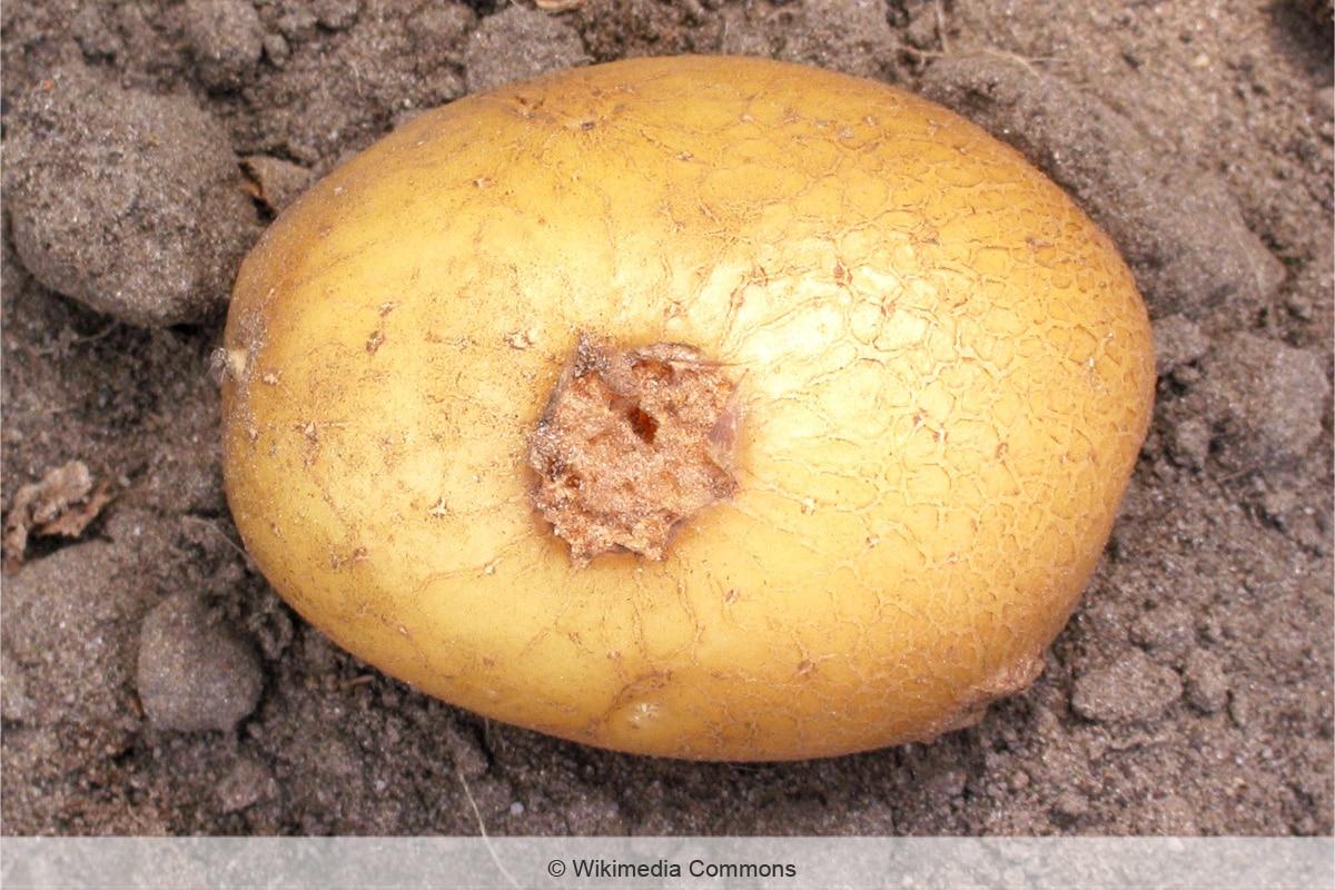 Dunkle Flecken an Kartoffeln - Kartoffelschorf